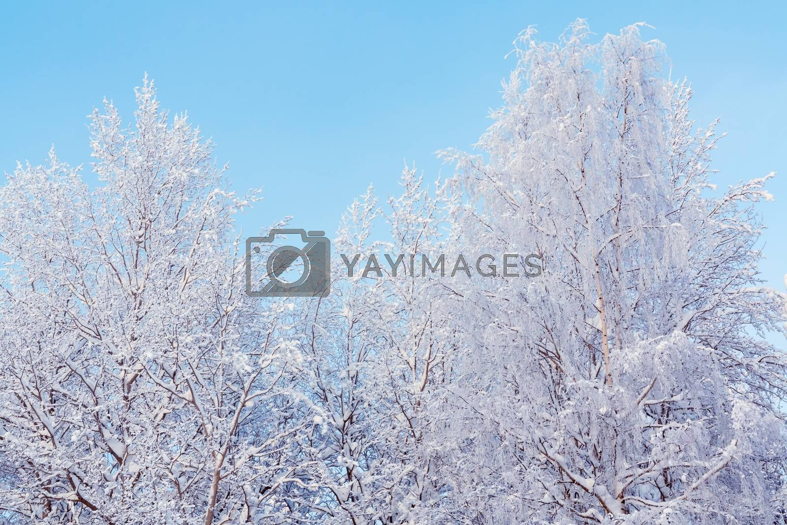 Trees covered with snow and frost in the winter forest against the blue sky by galsand
