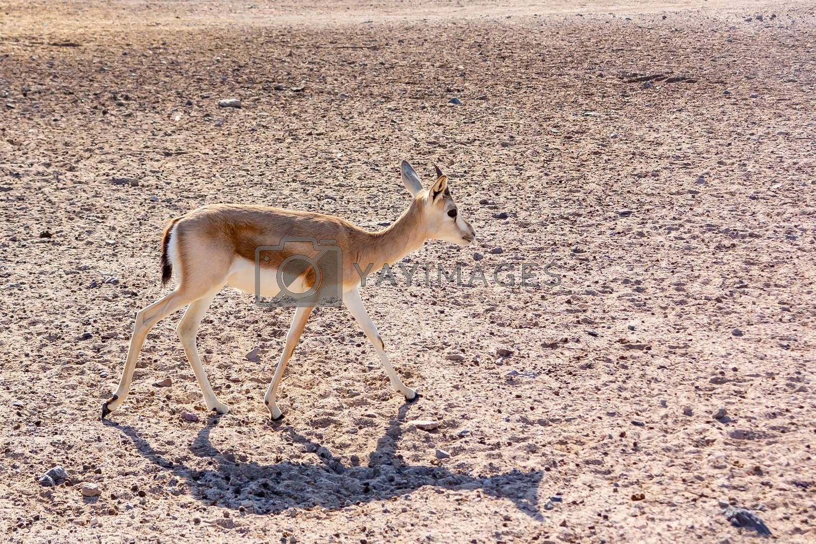 Young antelope in a safari park on the island of Sir Bani Yas, United Arab Emirates by galsand