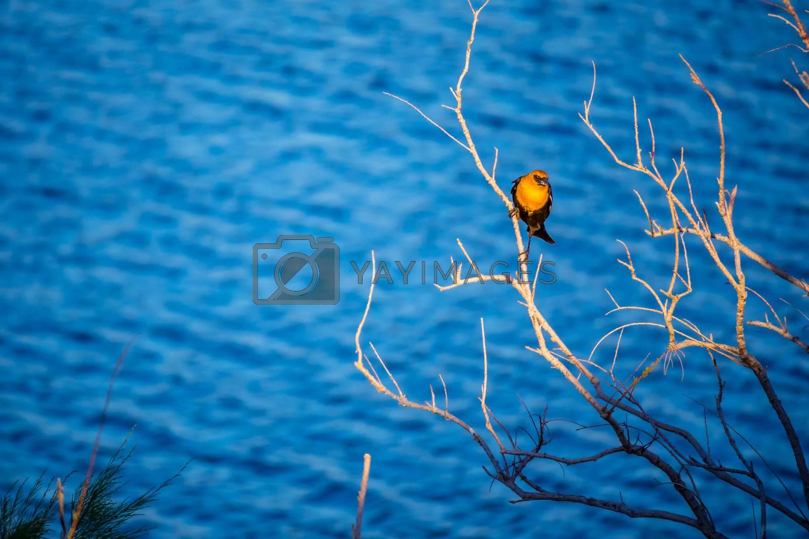 A Yellow Headed Blackbird in Yuma, Arizona by Cheri Alguire