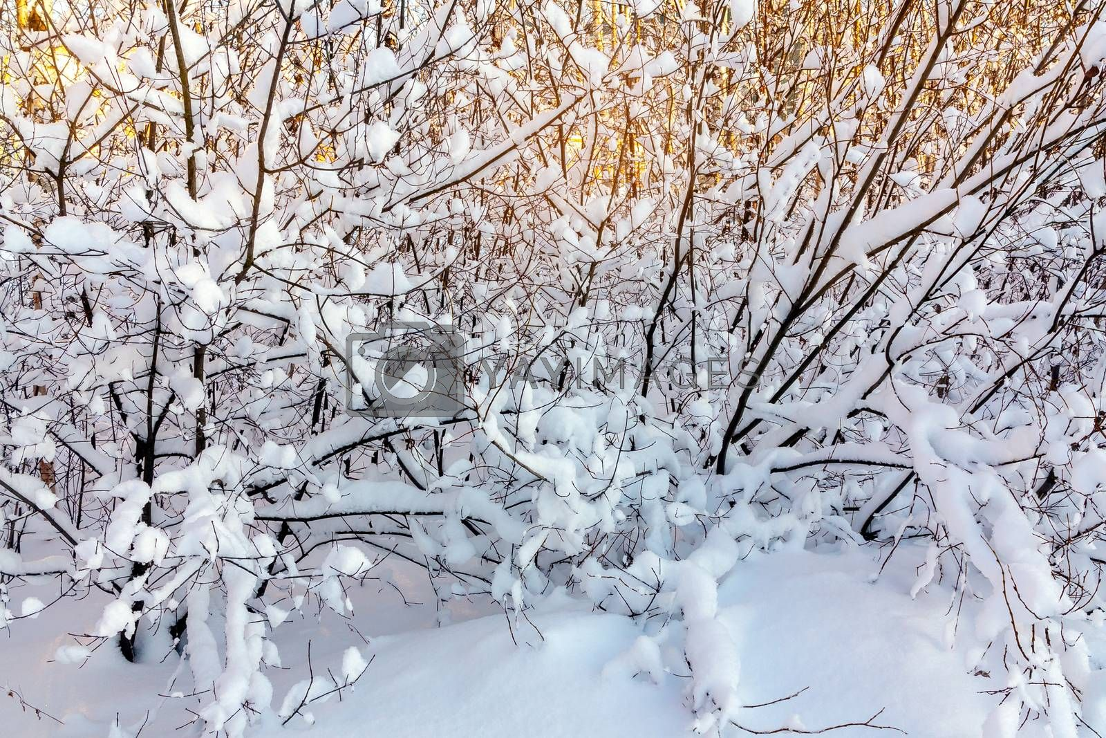 Beautiful winter landscape. Snow-covered branches of bushes in the light of sunset, can be used as a background or texture by galsand