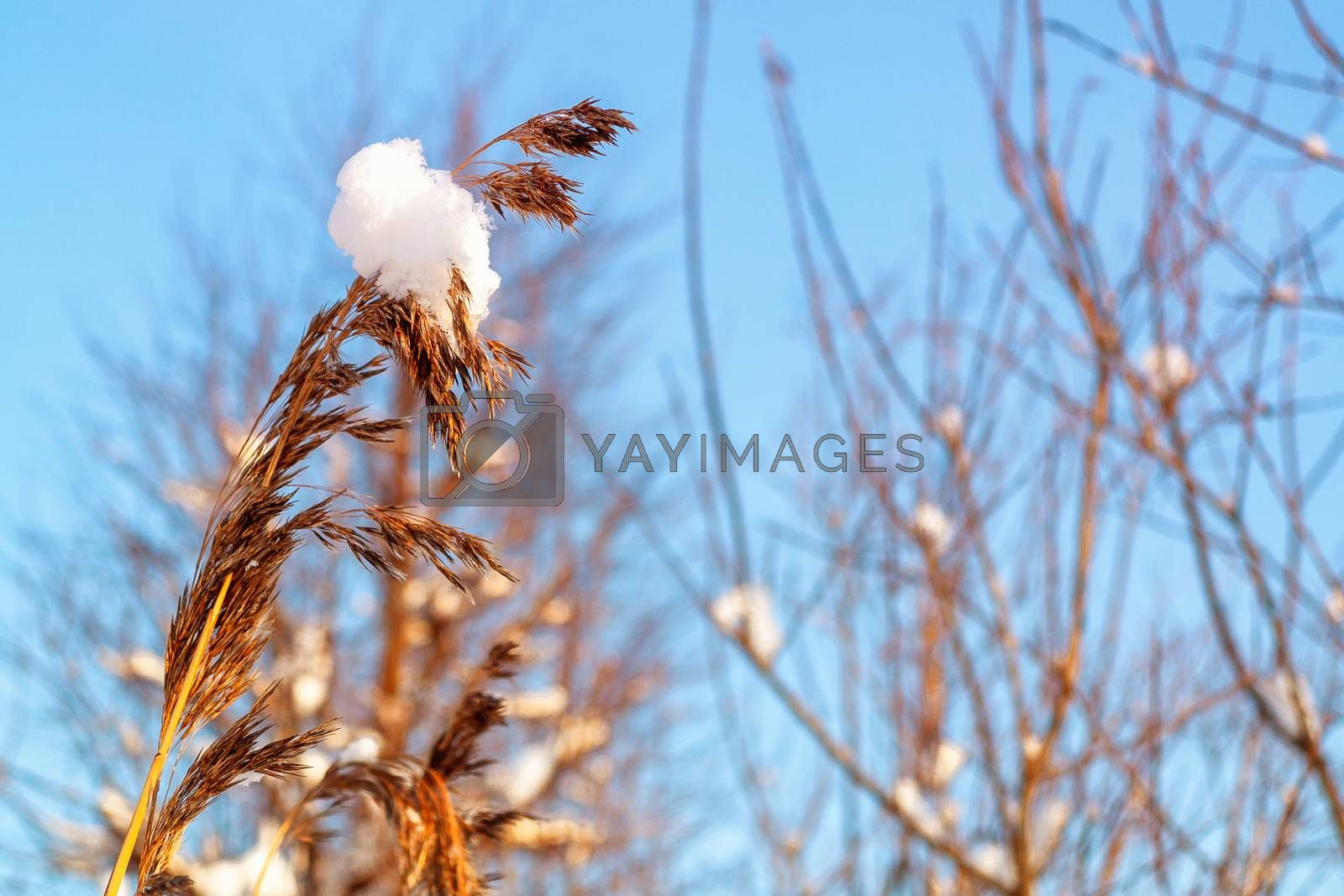 Spikelet of grass with a lump of snow and branches of bushes against the blue sky by galsand