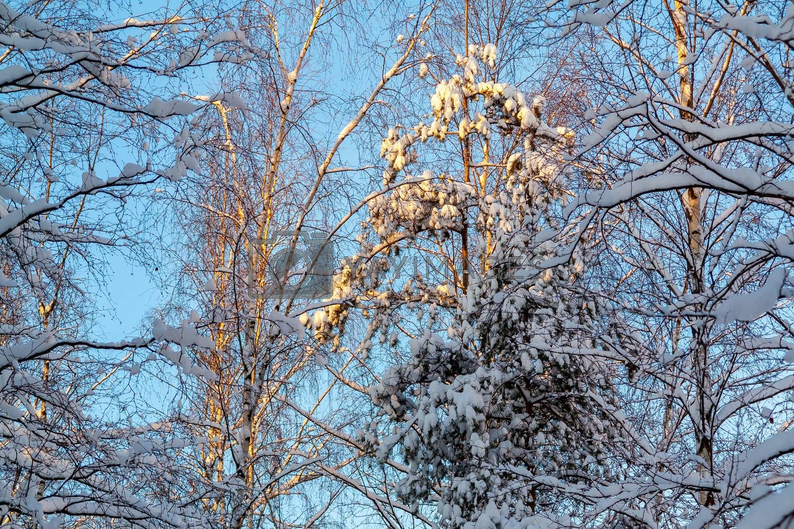 Snow-covered tree branches in the winter forest against the blue sky in the sunset light by galsand