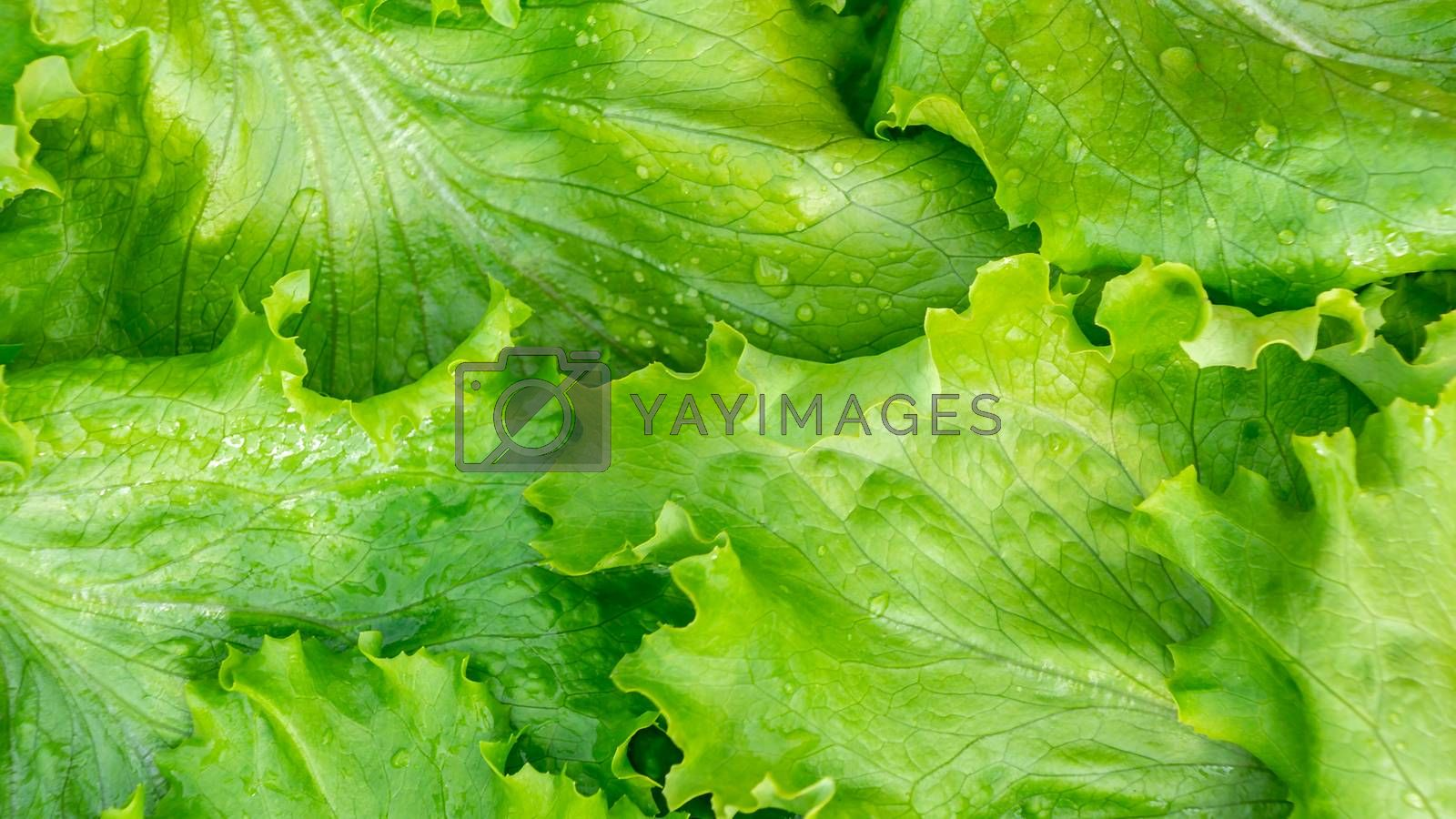 Fresh cut leaves of green lettuce texture, top view by galsand