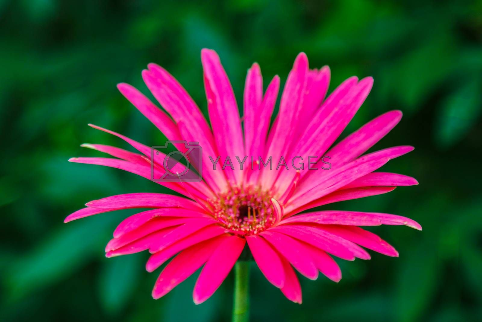 Gerbera is a genus of plants in the daisy family.Gerbera species bear a large capitulum with striking, two-lipped ray florets. by kip02kas