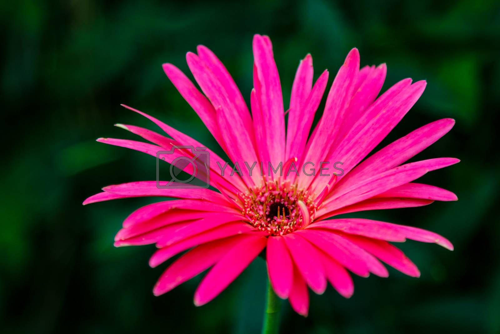 Beautiful pink hybrid Gerbera or Barberton daisy flowers. by kip02kas