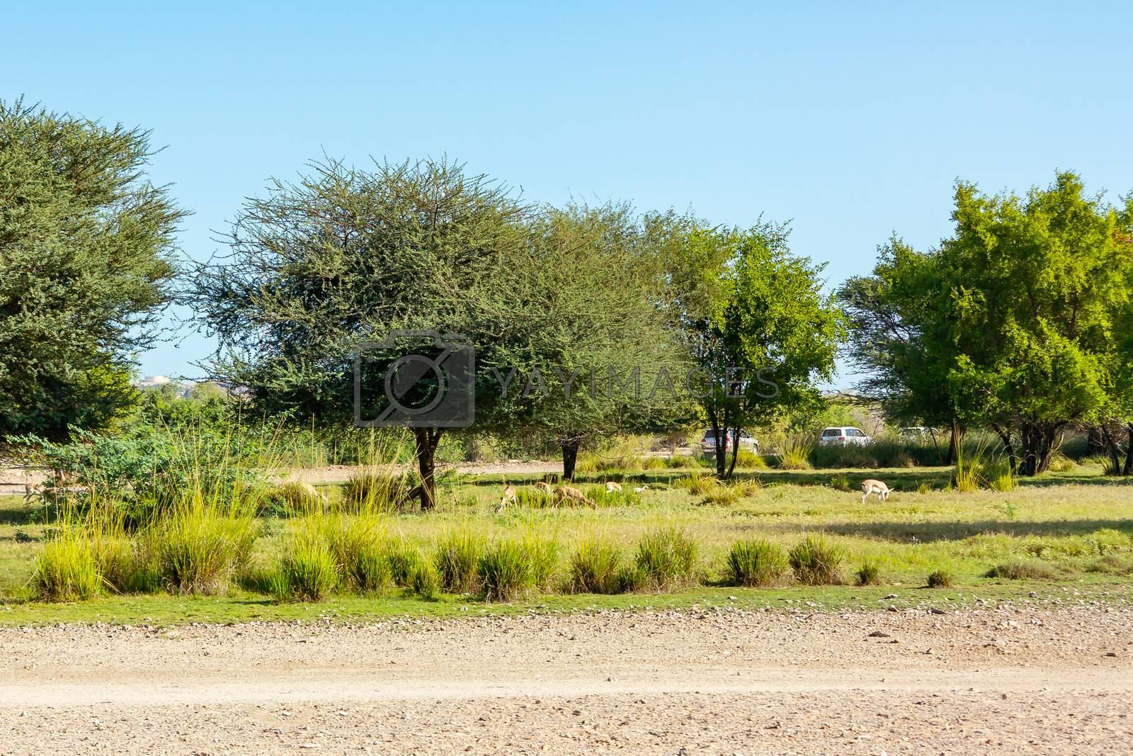 Road to Safari Park on Sir Bani Yas Island, Abu Dhabi, United Arab Emirates by galsand