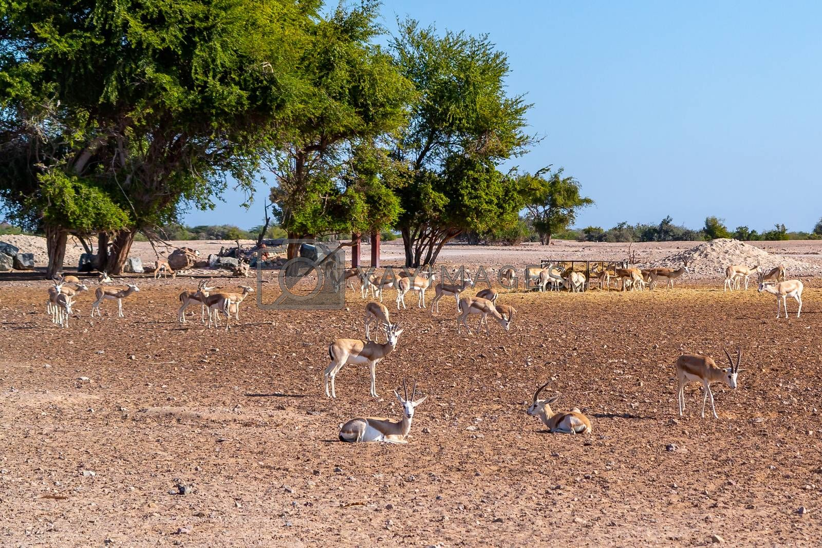 Antelope group in a safari park on the island of Sir Bani Yas, United Arab Emirates by galsand