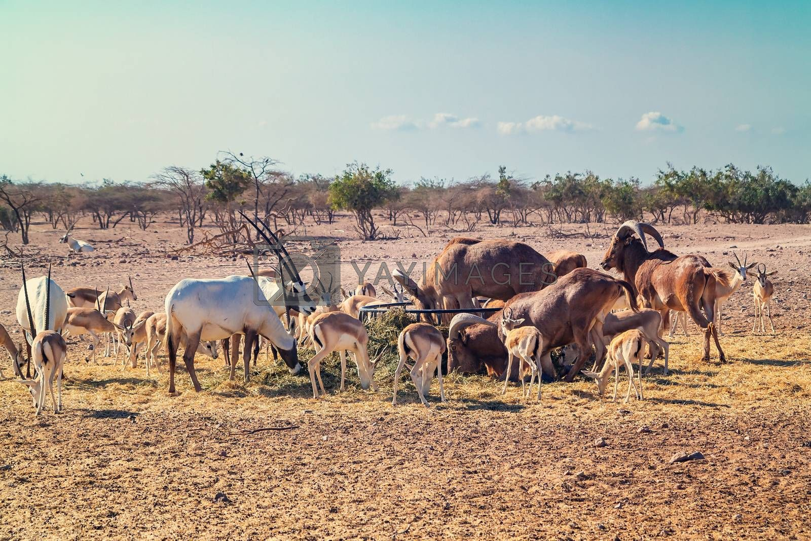 Group of antelopes and mountain sheep in a safari park on the island of Sir Bani Yas, United Arab Emirates by galsand