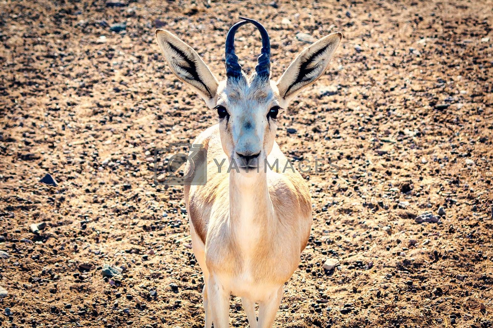 Young antelope looks into the camera in a safari park on the island of Sir Bani Yas, United Arab Emirates by galsand