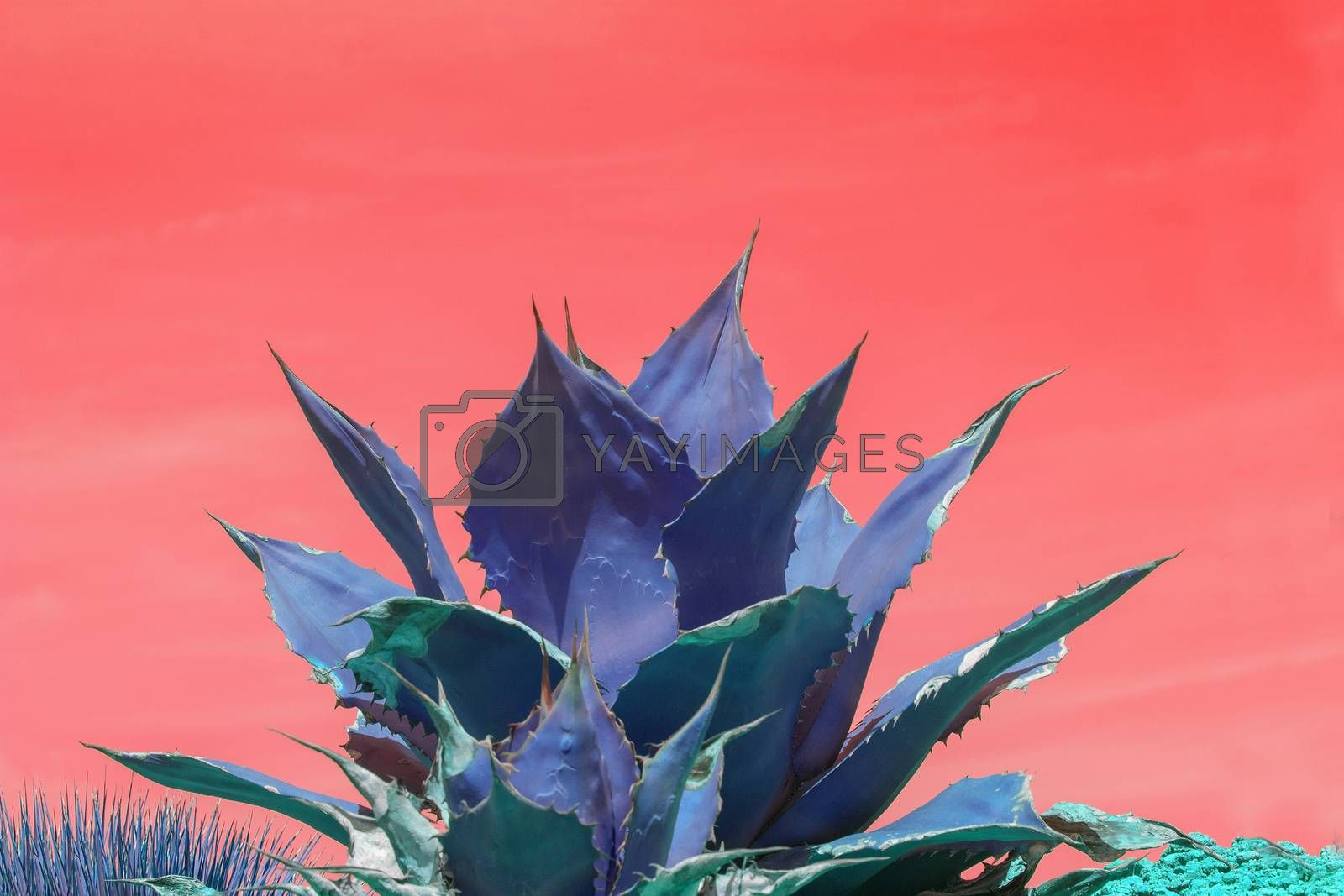 Surrealistic abstract blue succulent agave cactus against pink orange sky