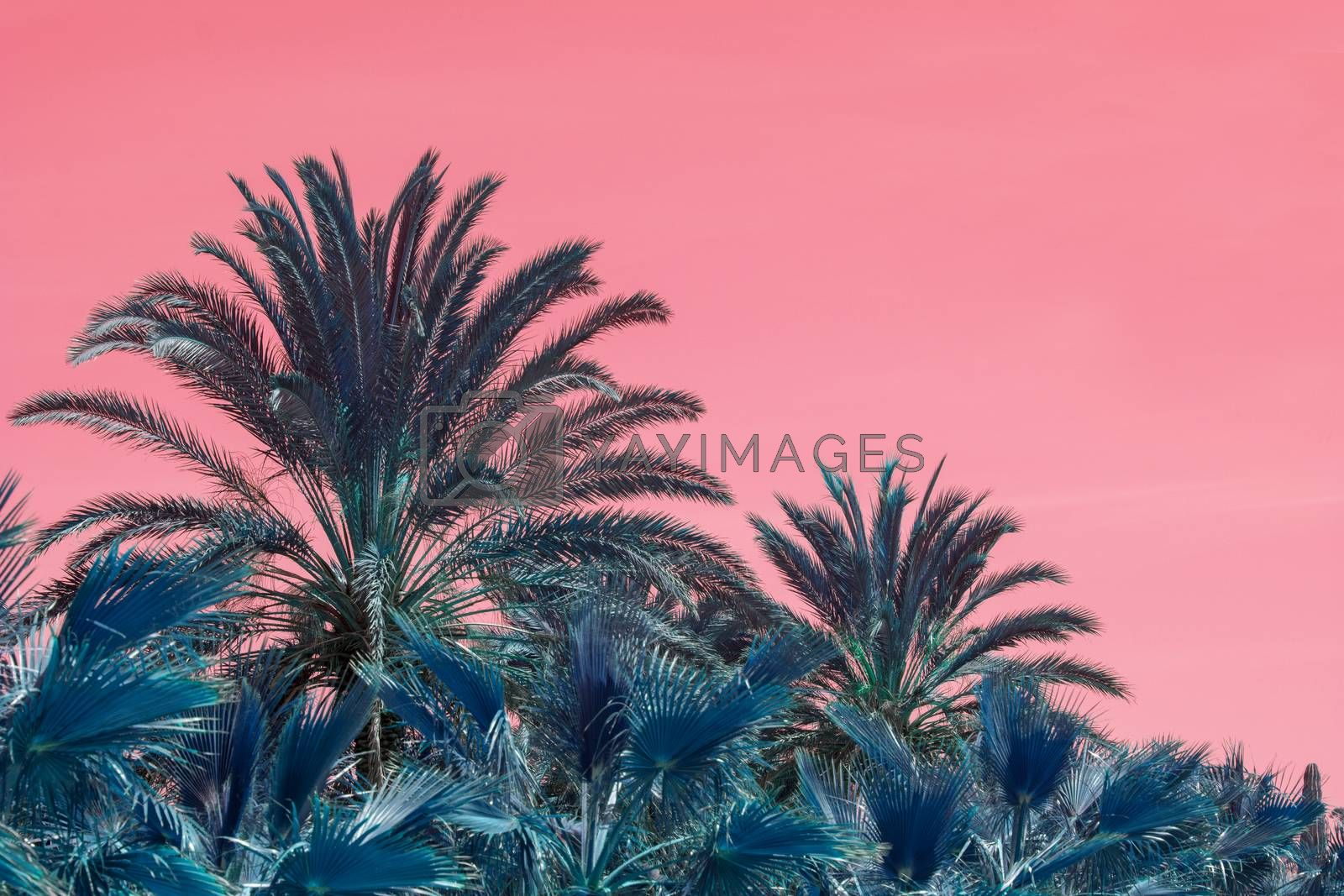 Surrealistic abstract Mallorca endemic fan palm Chamaerops humilis lush leaves against pink skies