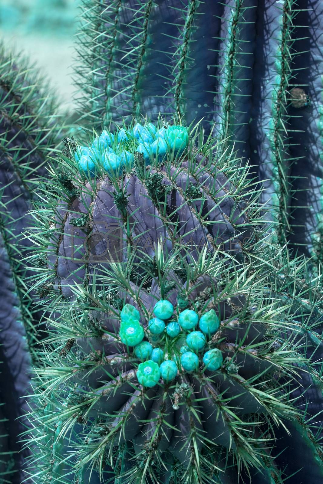 Surrealistic abstract purple cactus with turquoise flowers closeup