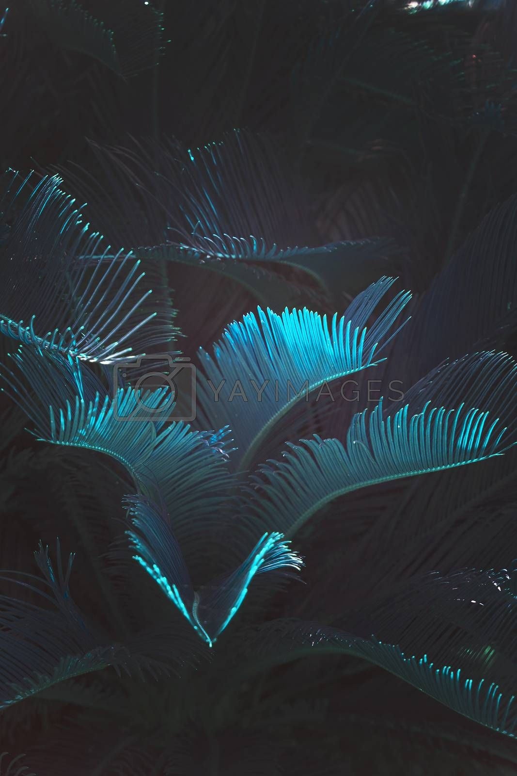 Surrealistic abstract blue glow Mallorca endemic fan palm Chamaerops humilis lush leaves in surrealistic abstract blue glow