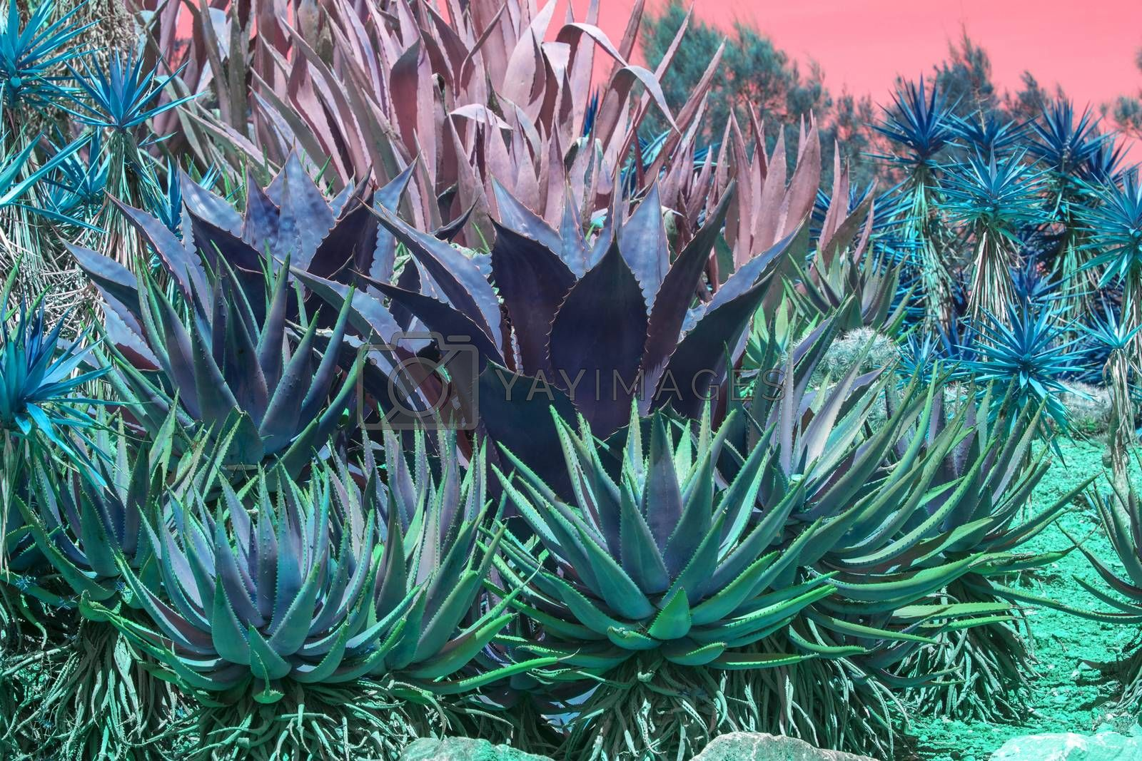 Succulent agave and aloe vera plants pink orange sky by Artesia Wells