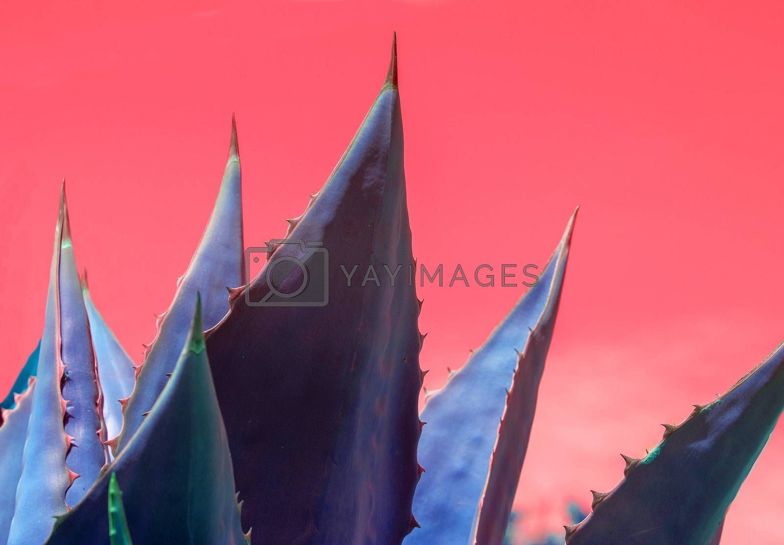 Abstract succulent agave and aloe vera plants closeup macro against surrealistic red pink sky