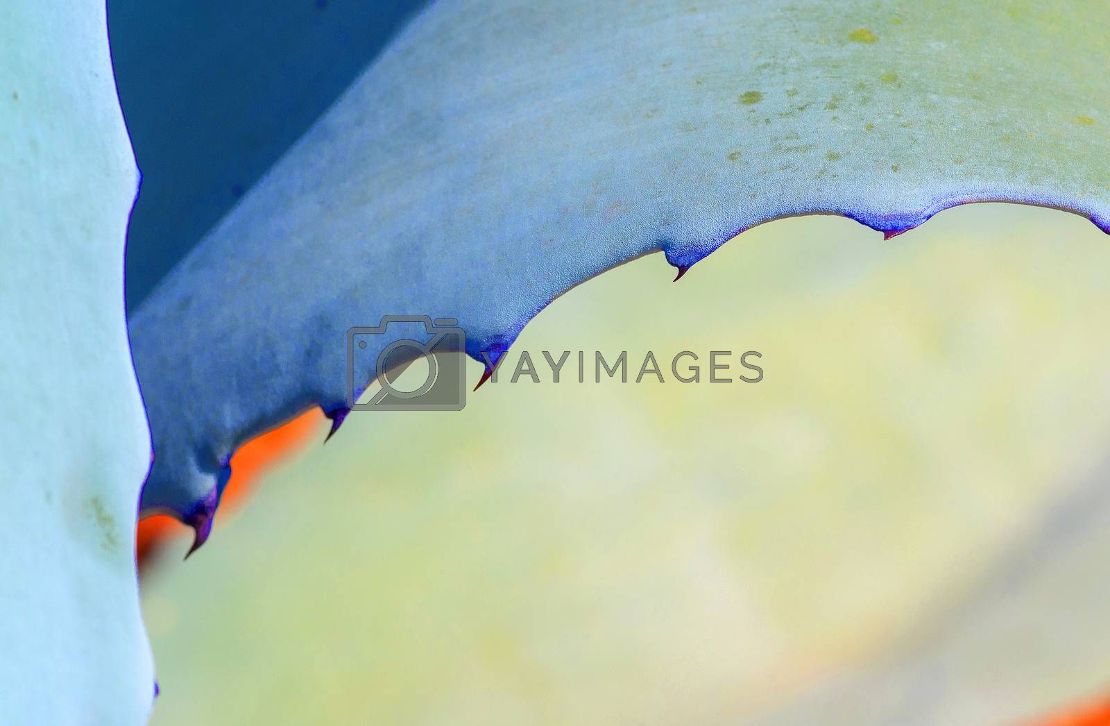 Abstract succulent agave and aloe vera plants macro in surrealistic color scheme turquoise, orange, blue
