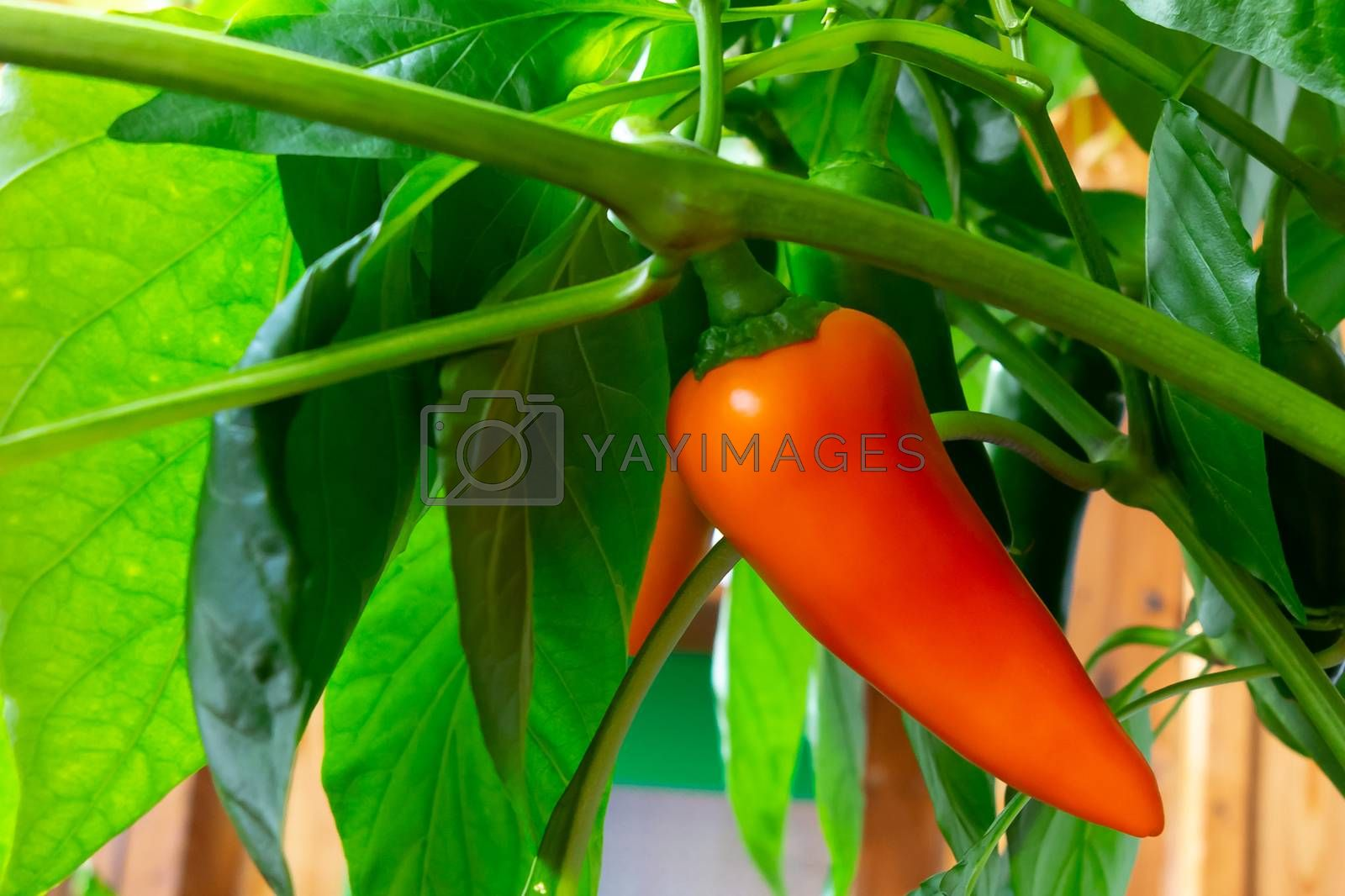 pods of sweet pepper ripen on a bush in a greenhouse by galsand