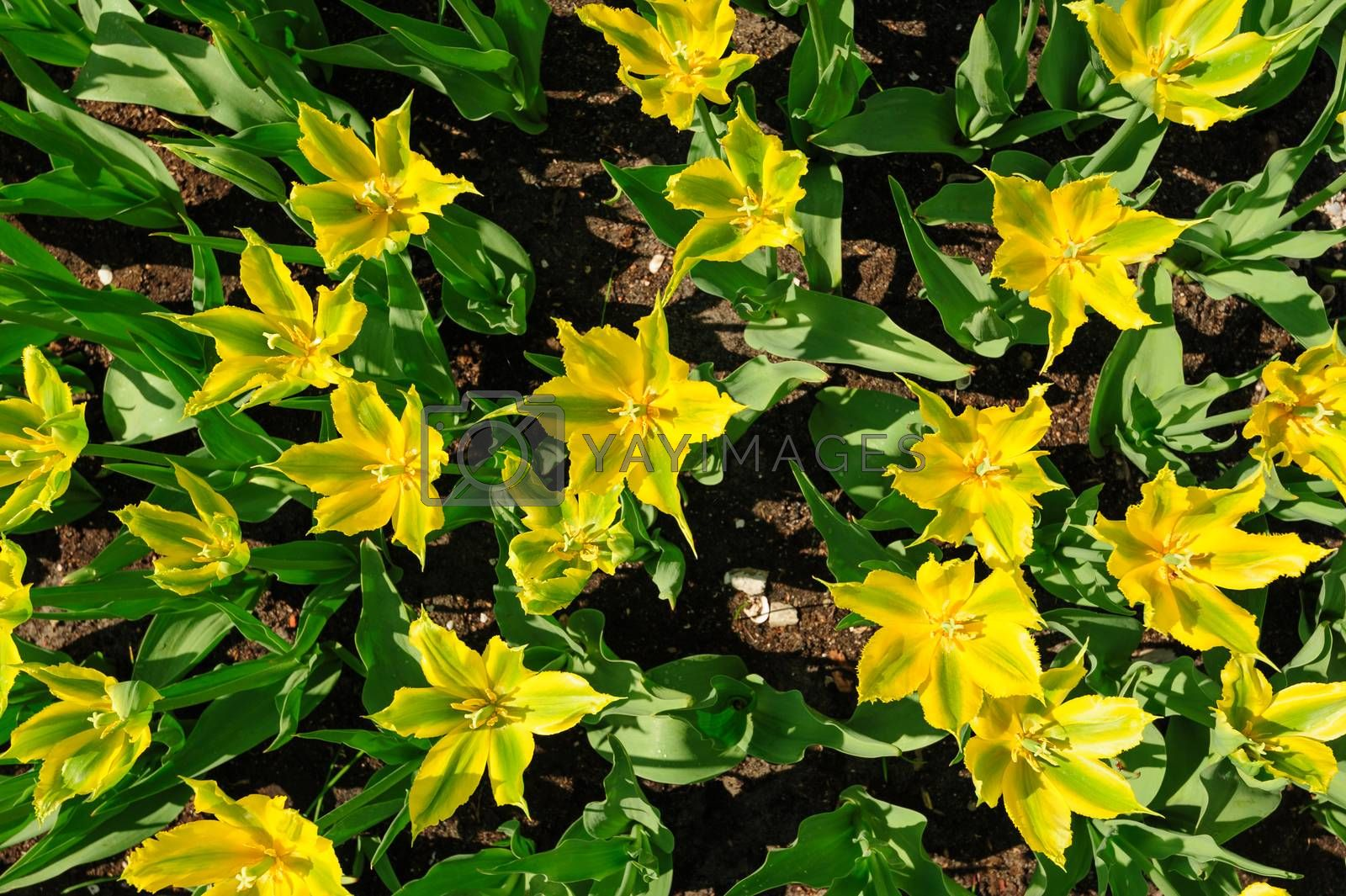 Yellow-green tulips flowerbed shot from above, Keukenhof Gardens in Lisse, Netherlands. Good as background or wallpaper.