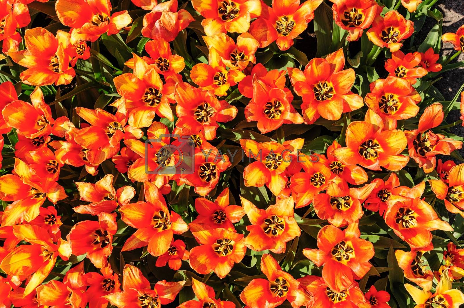 Red-yellow tulips flowerbed shot from above, Keukenhof Gardens in Lisse, Netherlands. Good as background or wallpaper.
