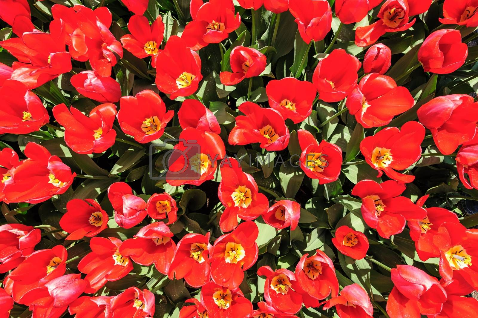 Bright red tulips flowerbed shot from above, Keukenhof Gardens in Lisse, Netherlands. Good as background or wallpaper.