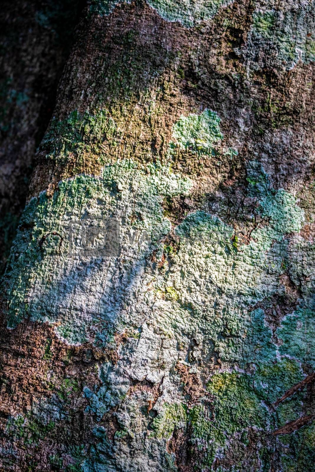Abstract nature surface of rough tree bark in different colors from dry lichen touching sunlight in tropical forest.