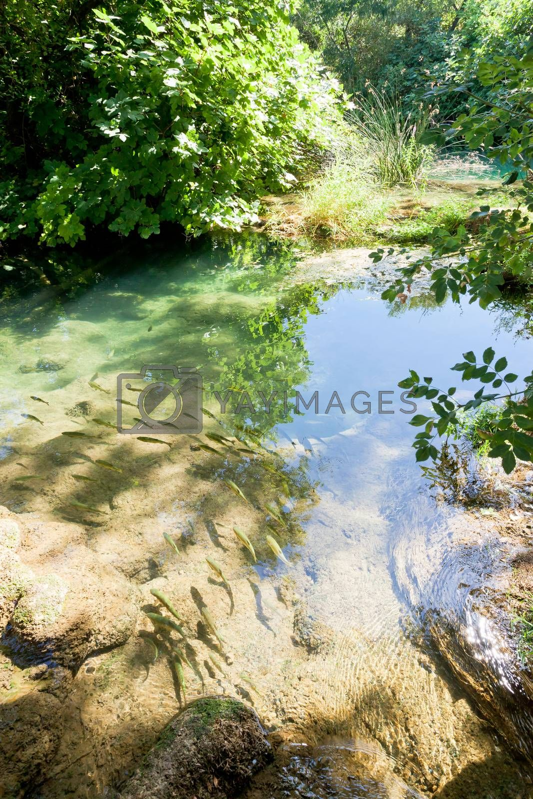 Krka, Sibenik, Croatia, Europe - Trouts swimming in line with the courrent of Krka river