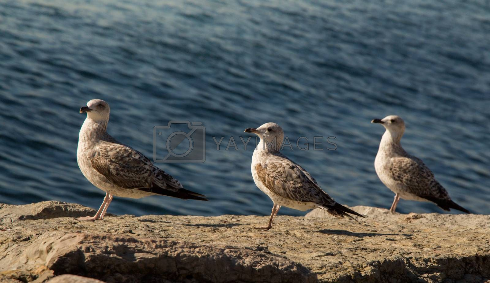 Seagulls are on the rock by the sea waters