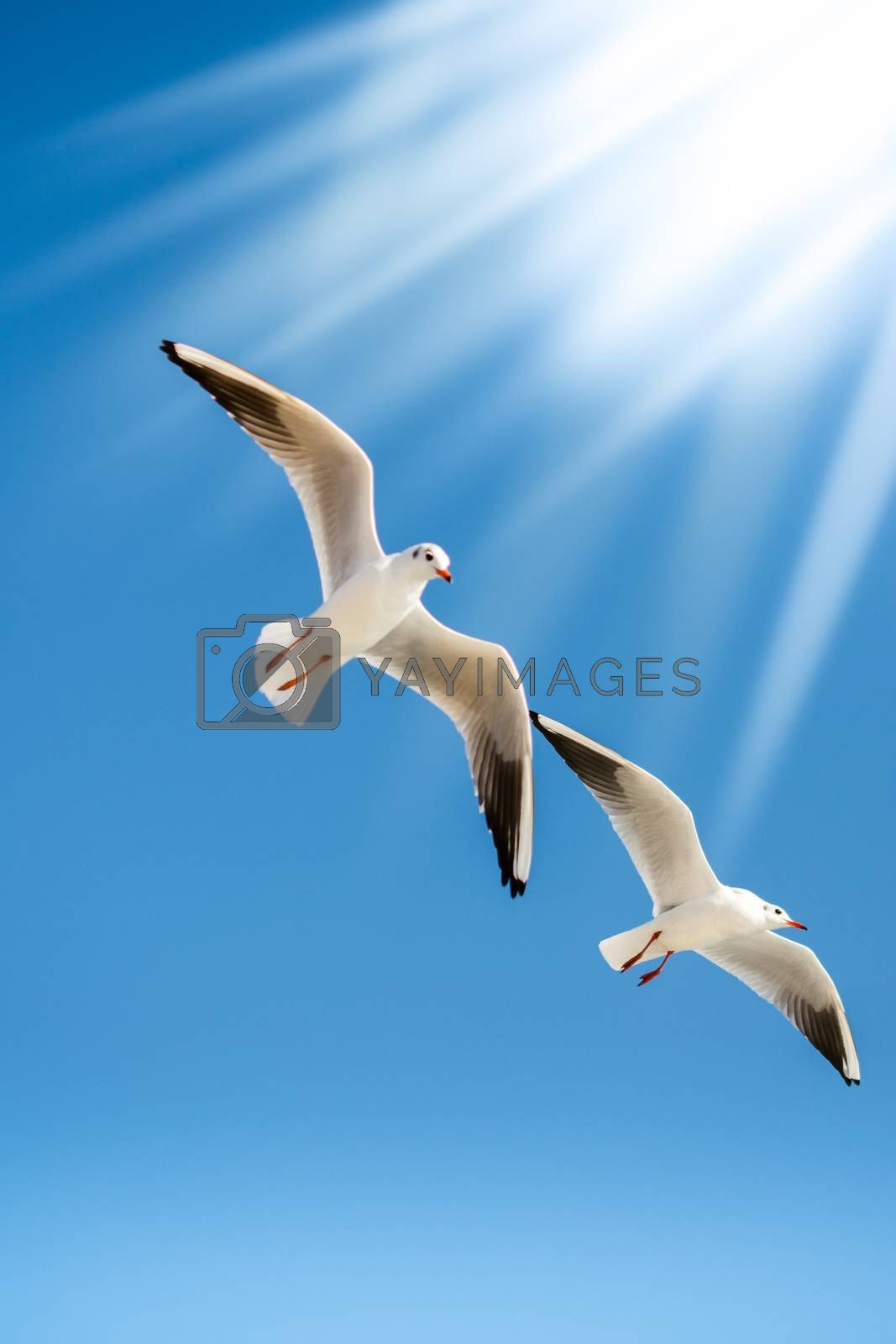 Pair of seagulls flying in the sky background
