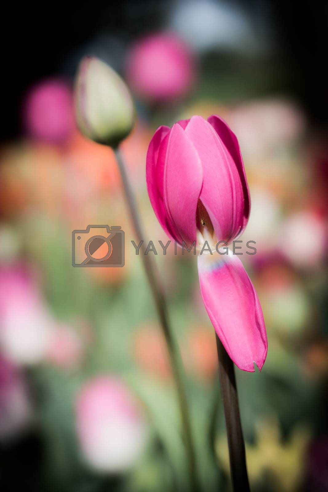 Beautiful tulips flower for postcard beauty concept design