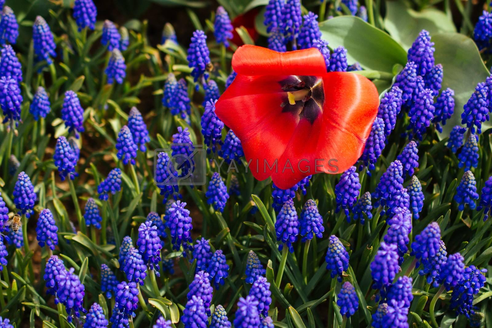 Colorful tulip flower bloom in the garden by berkay