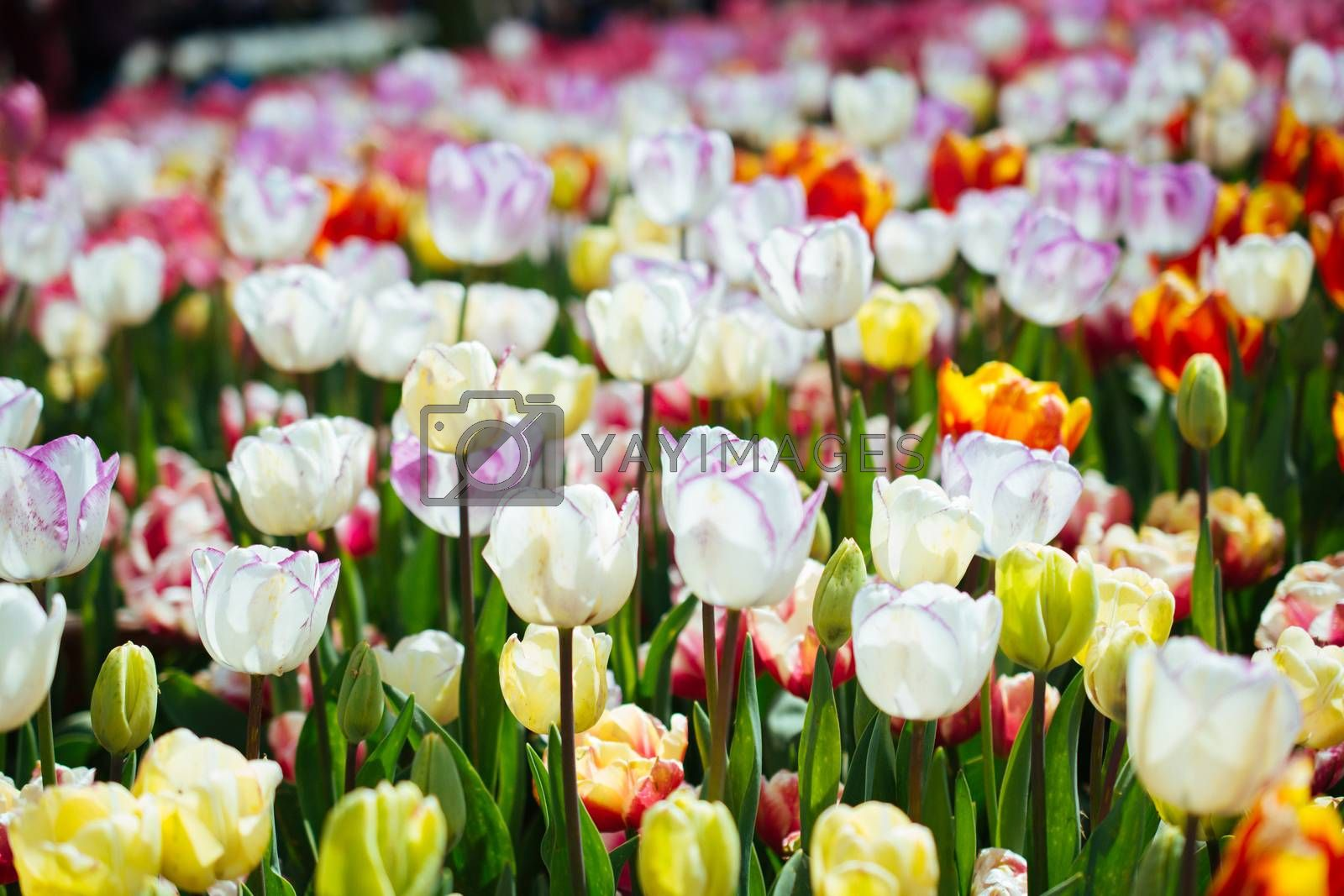 Blooming colorful tulip flowers as floral background by berkay