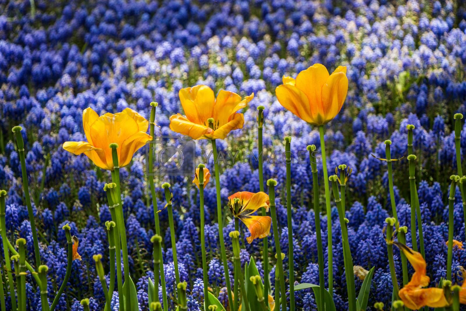 Blooming tulip flowers in spring as  floral background by berkay
