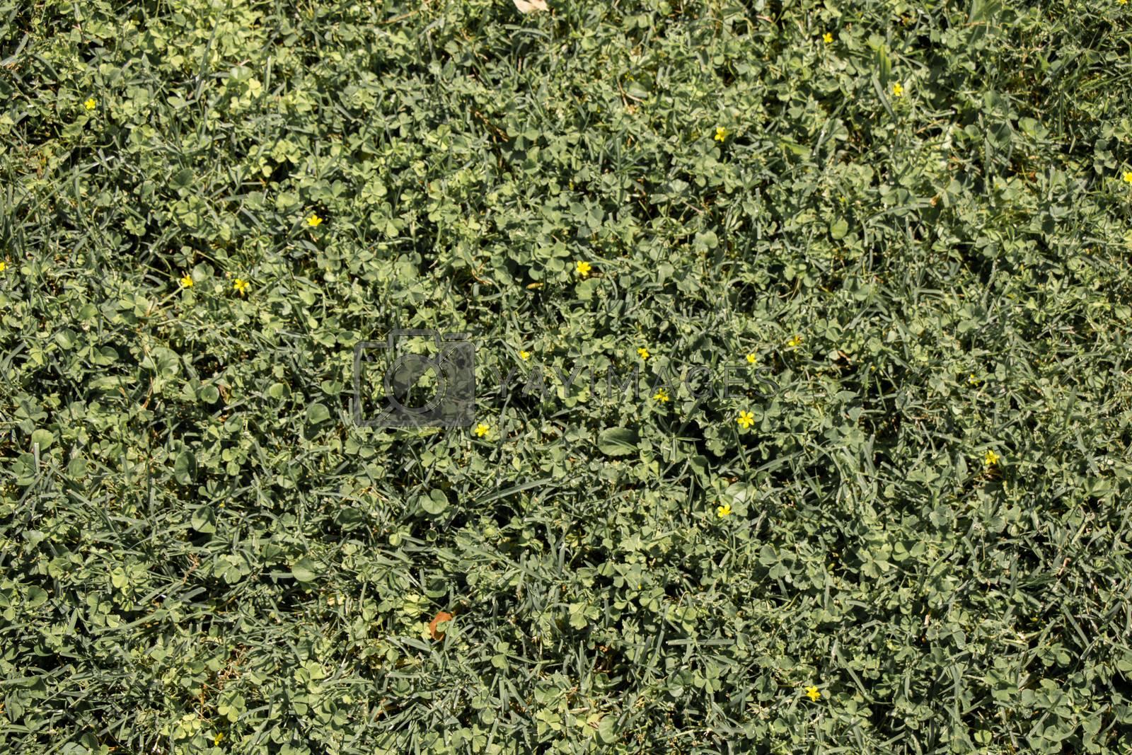 Green grass as green background by berkay
