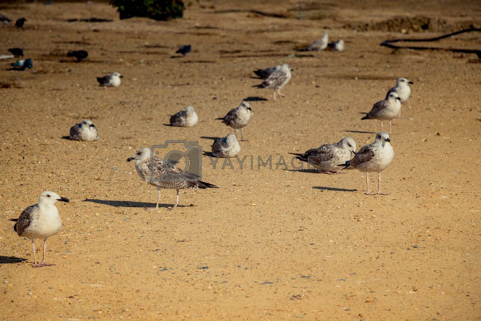 Seagulls on ground  with brown soil by berkay