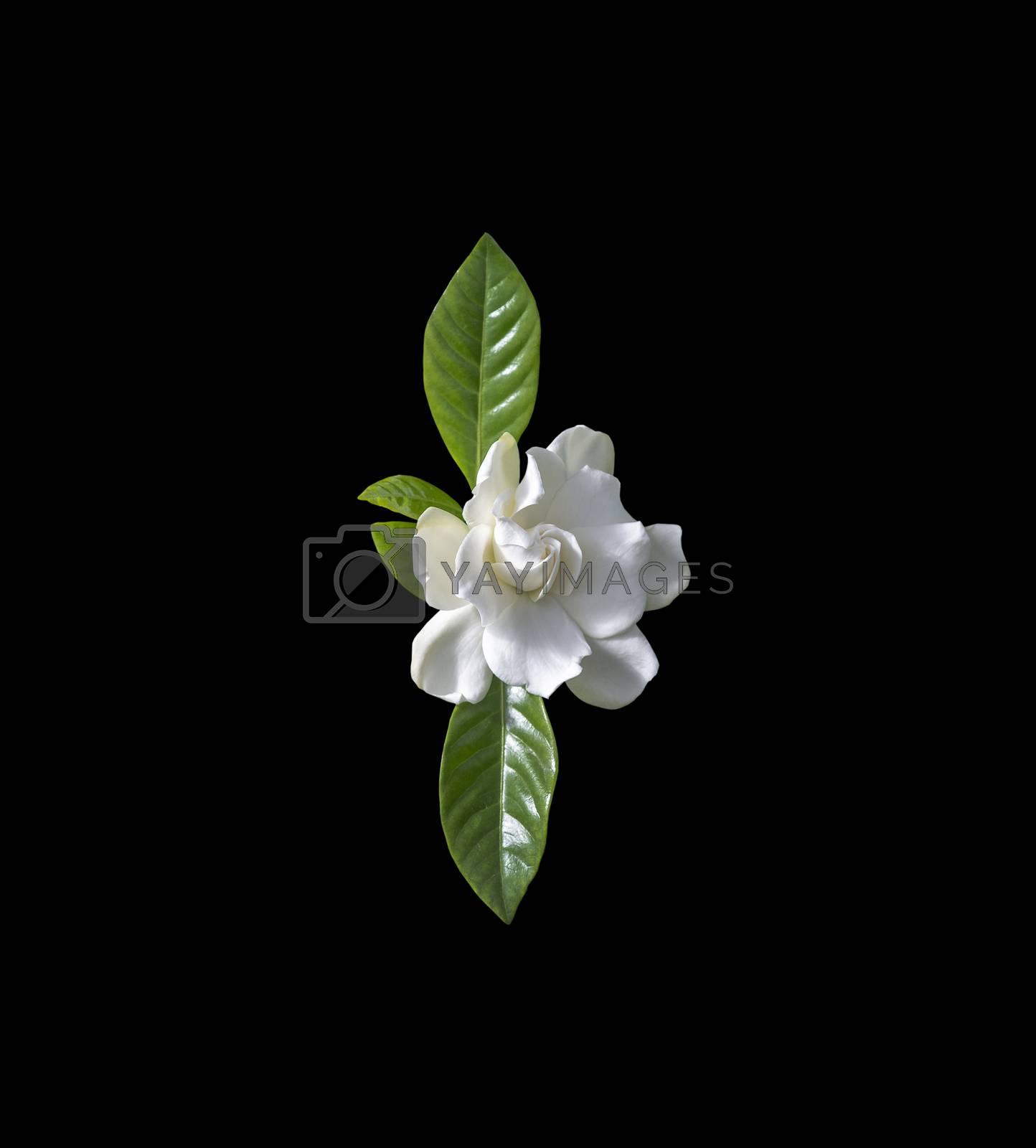 Beautiful white gardenia flower closeup by Artesia Wells
