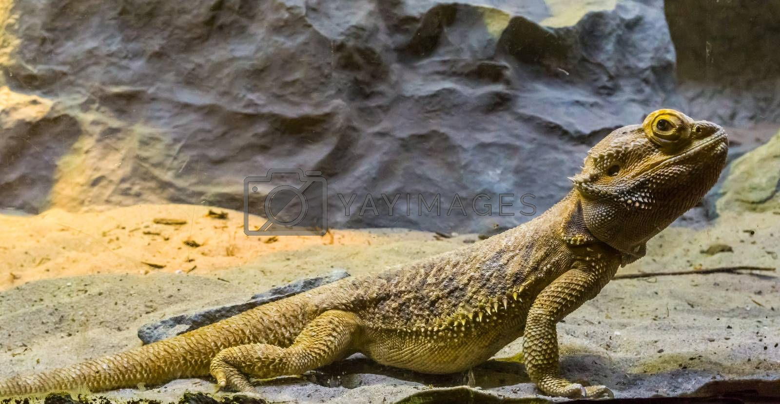 bearded dragon lizard in closeup, tropical reptile from Australia, popular pets