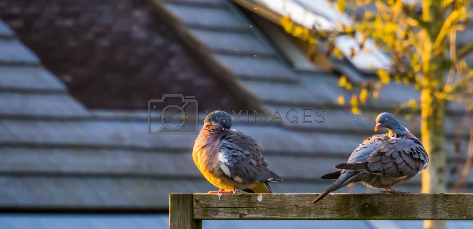 common wood pigeons sitting together and preening their feathers, common birds in europe