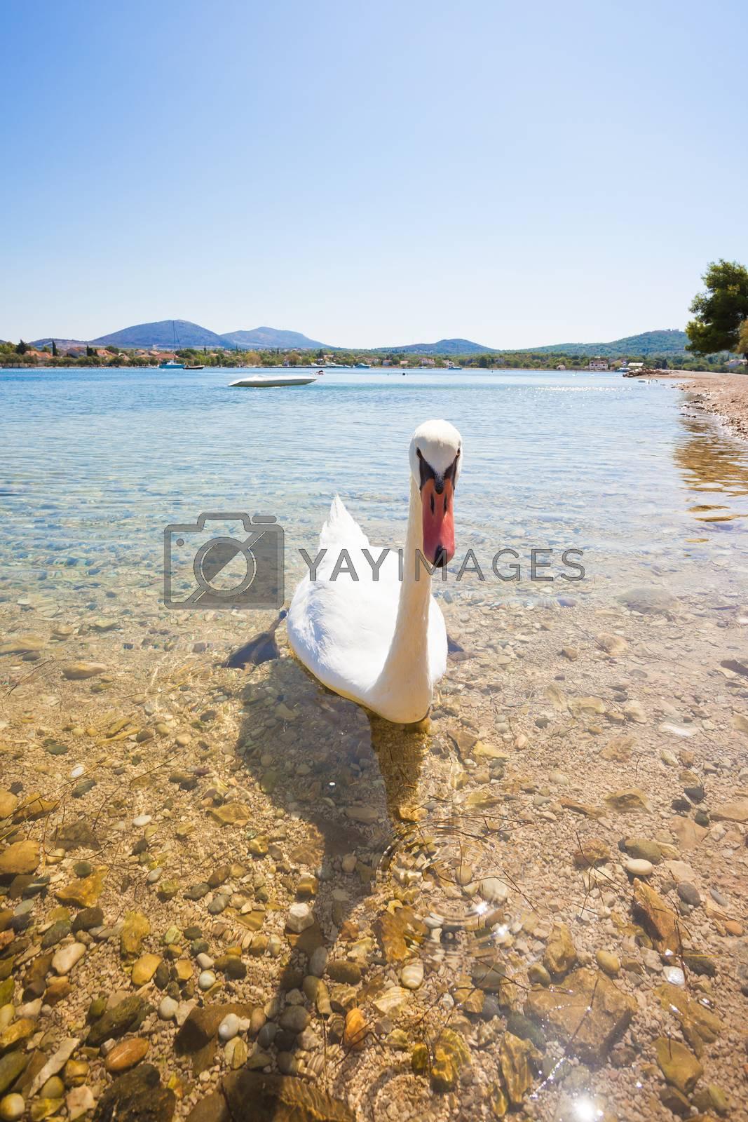 Bilice, Sibenik-Knin, Croatia, Europe - A young curious swan looking out