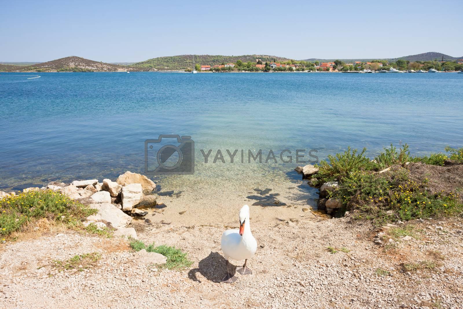 Bilice, Sibenik-Knin, Croatia, Europe - A swan acting as a gate keeper