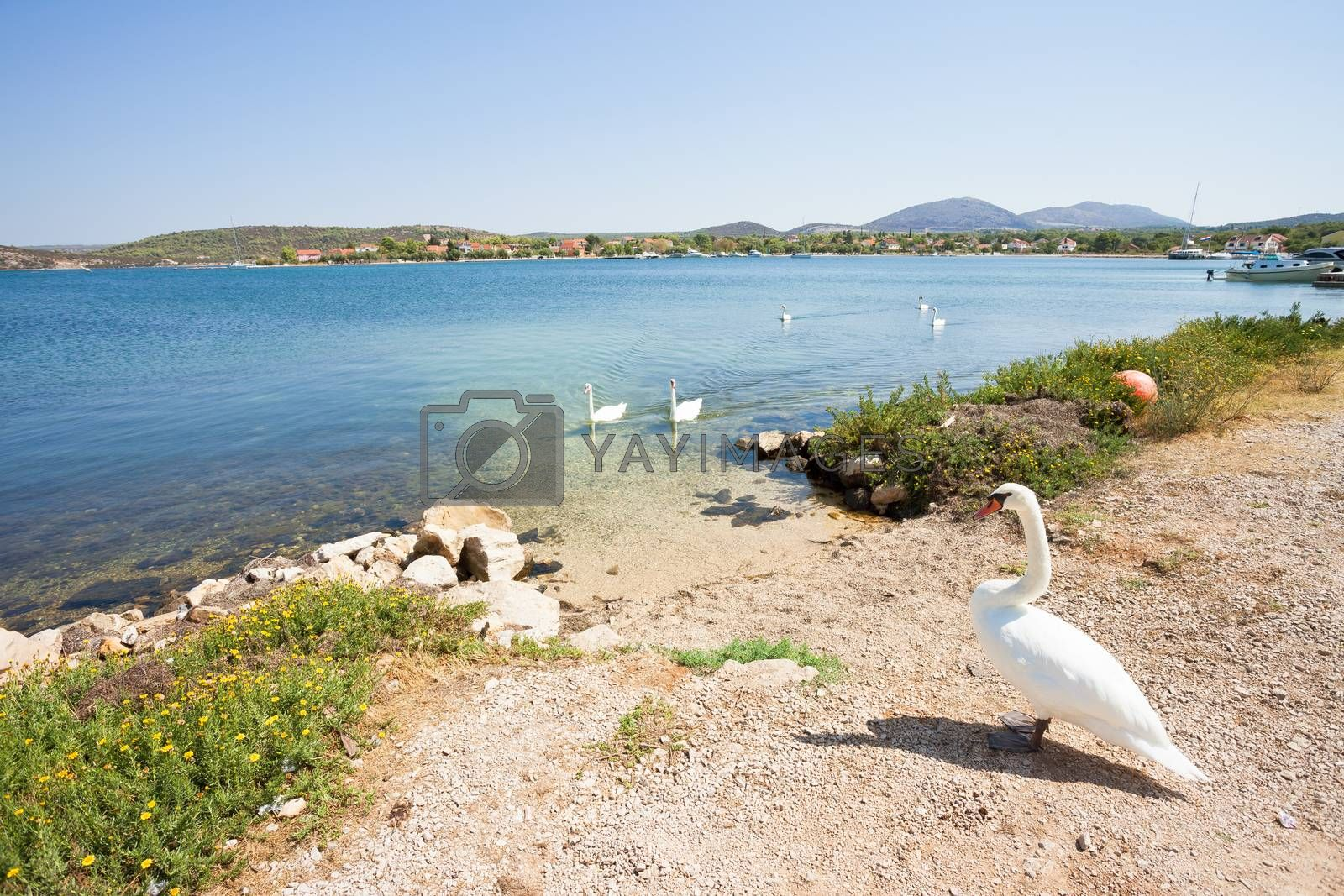 Bilice, Sibenik-Knin, Croatia, Europe - A swan cob waiting for its family at the beach