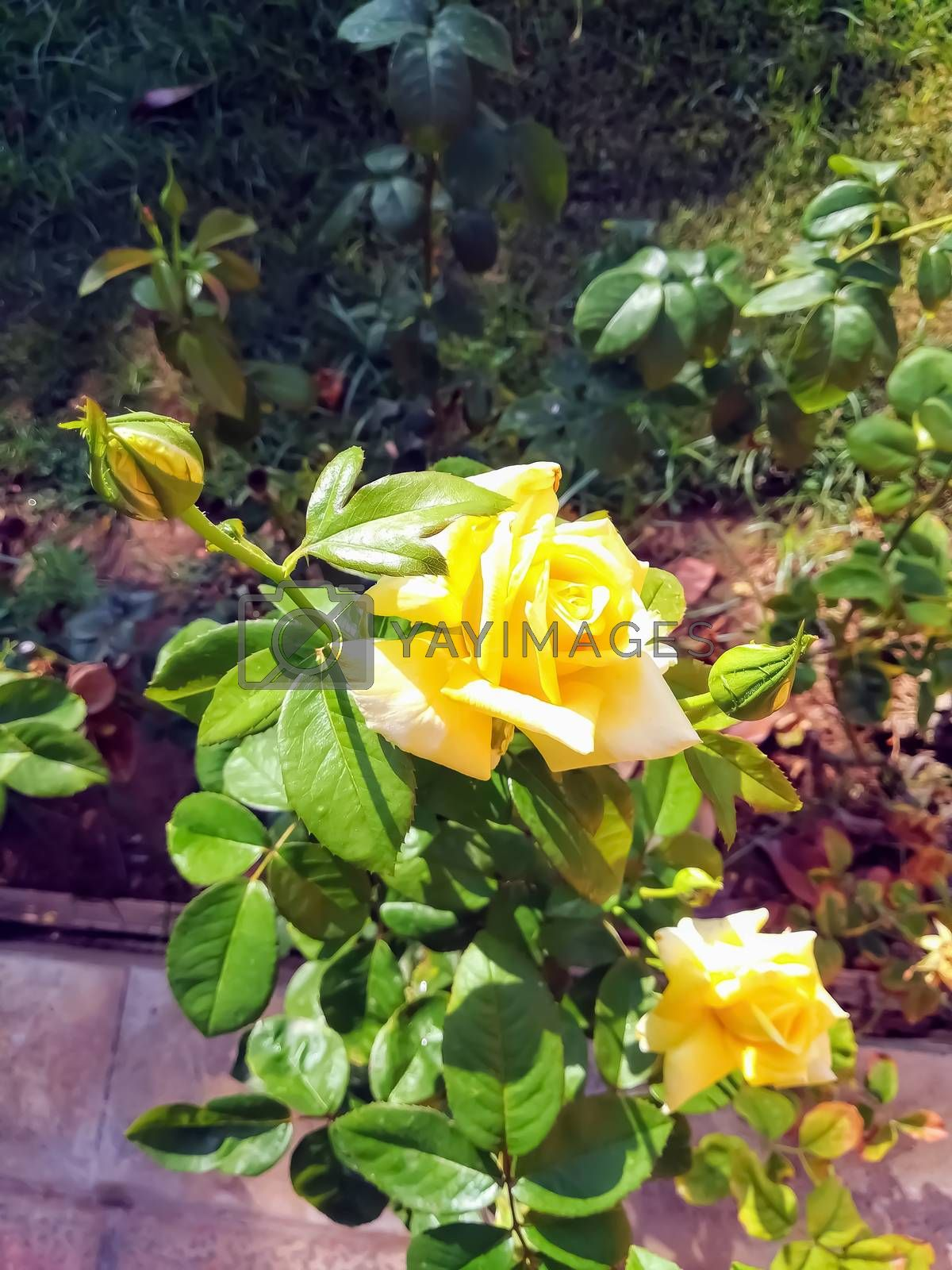 Yellow roses with several buds about to leave by Barriolo82