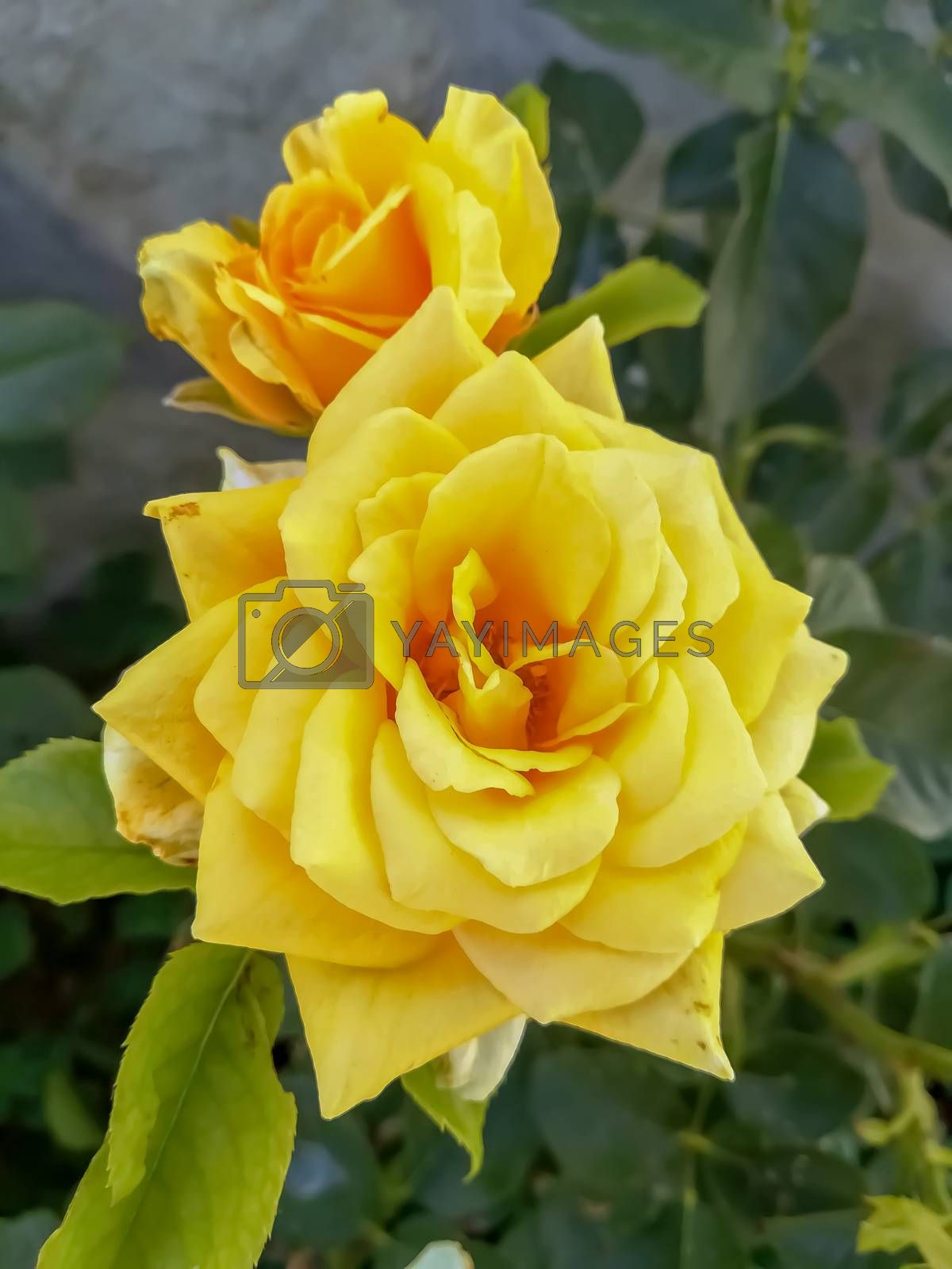Two yellow roses with unfocused background by Barriolo82