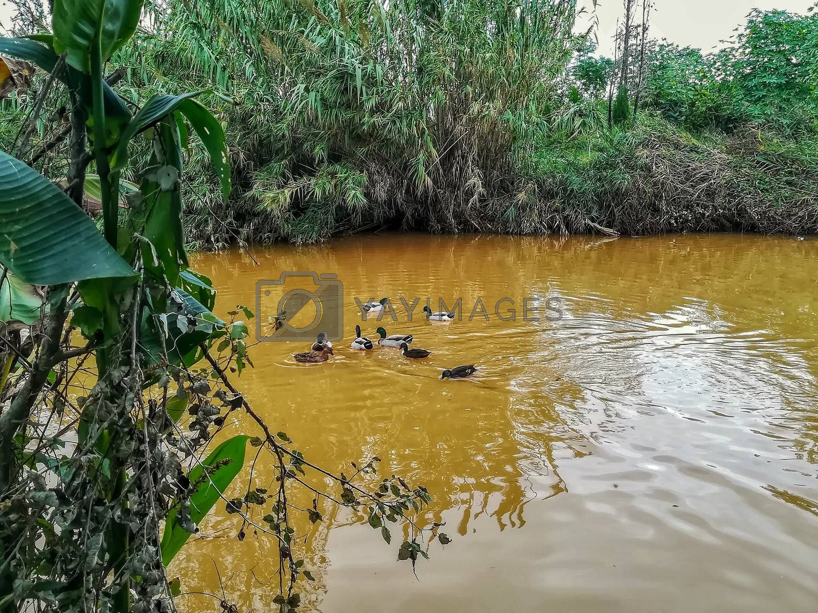 Ducks swimming in the river of the natural setting of Clot with sediment laden water after heavy rains