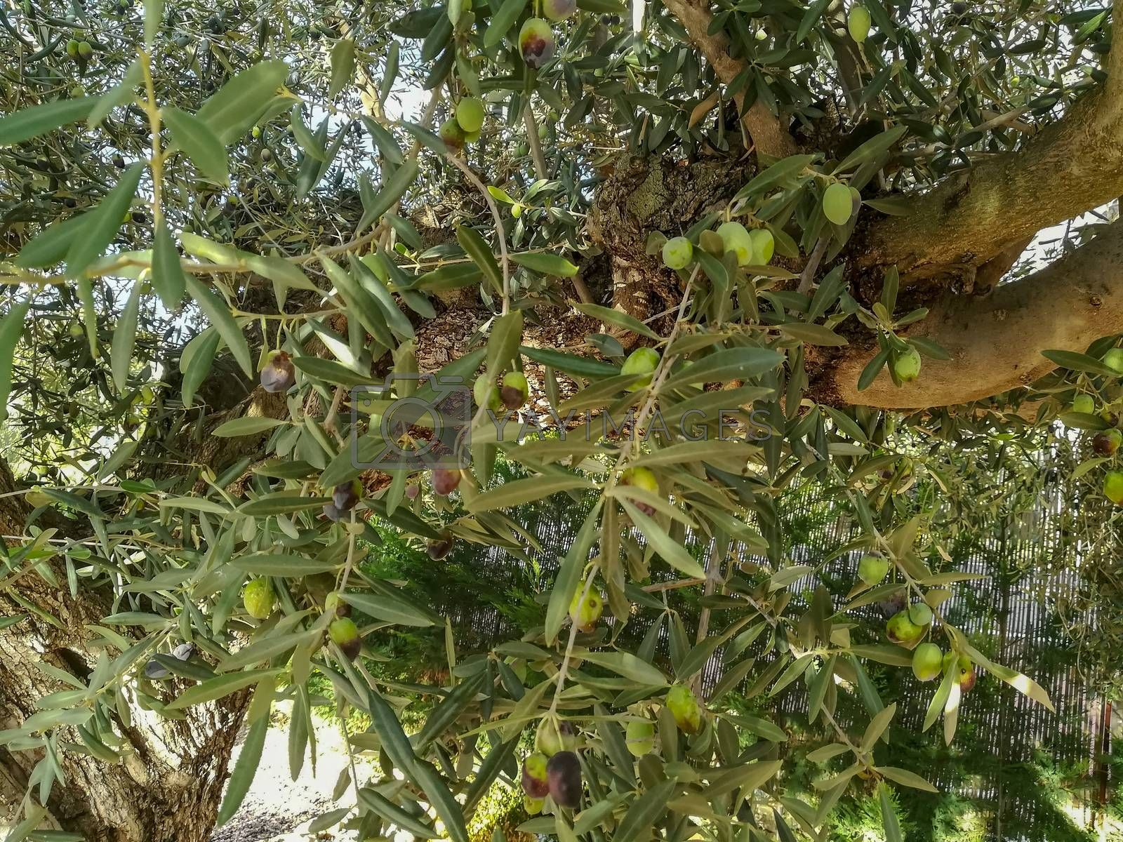 Olive tree in full fruit production