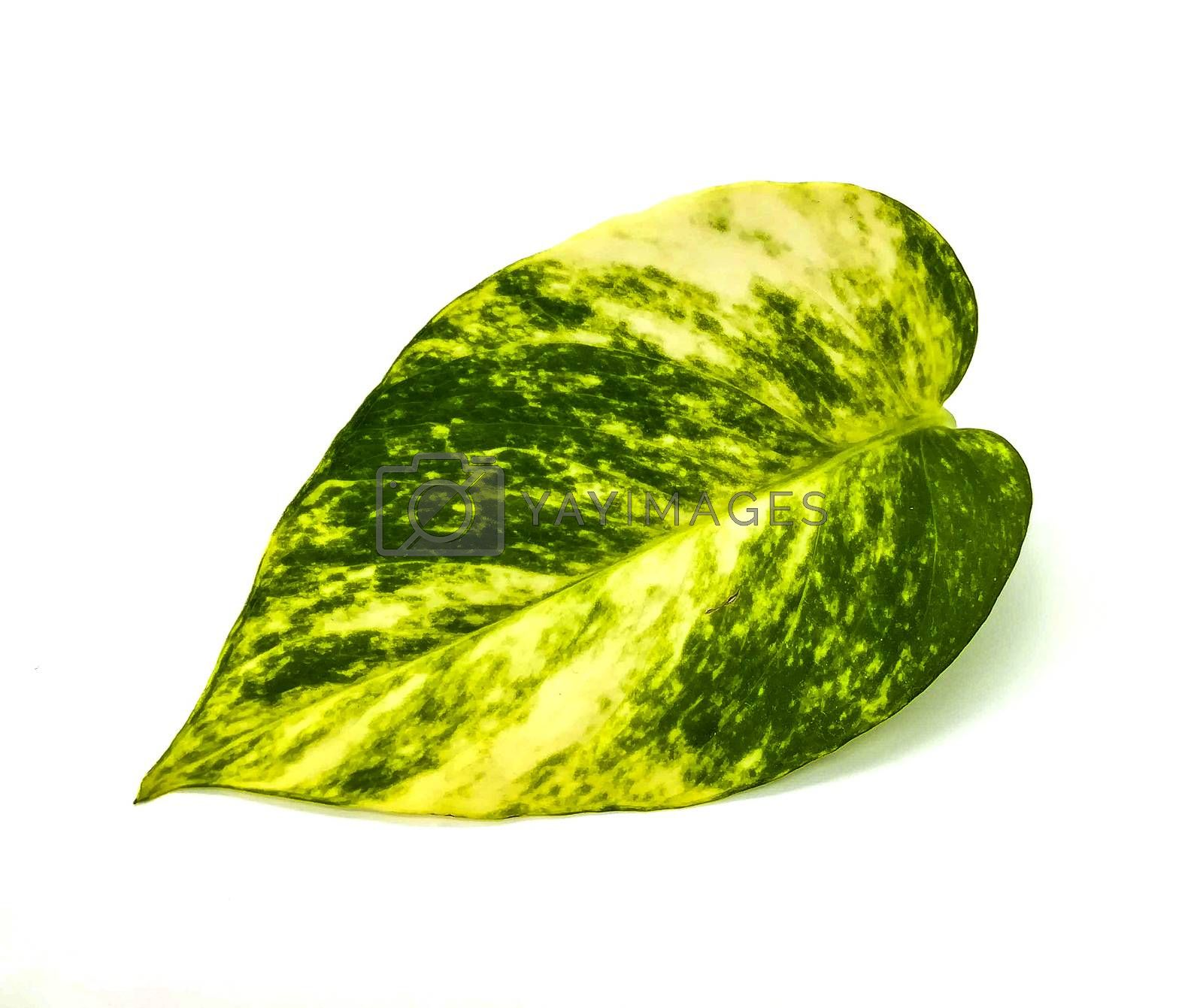 Pretty leaf with green and yellow tones on white background
