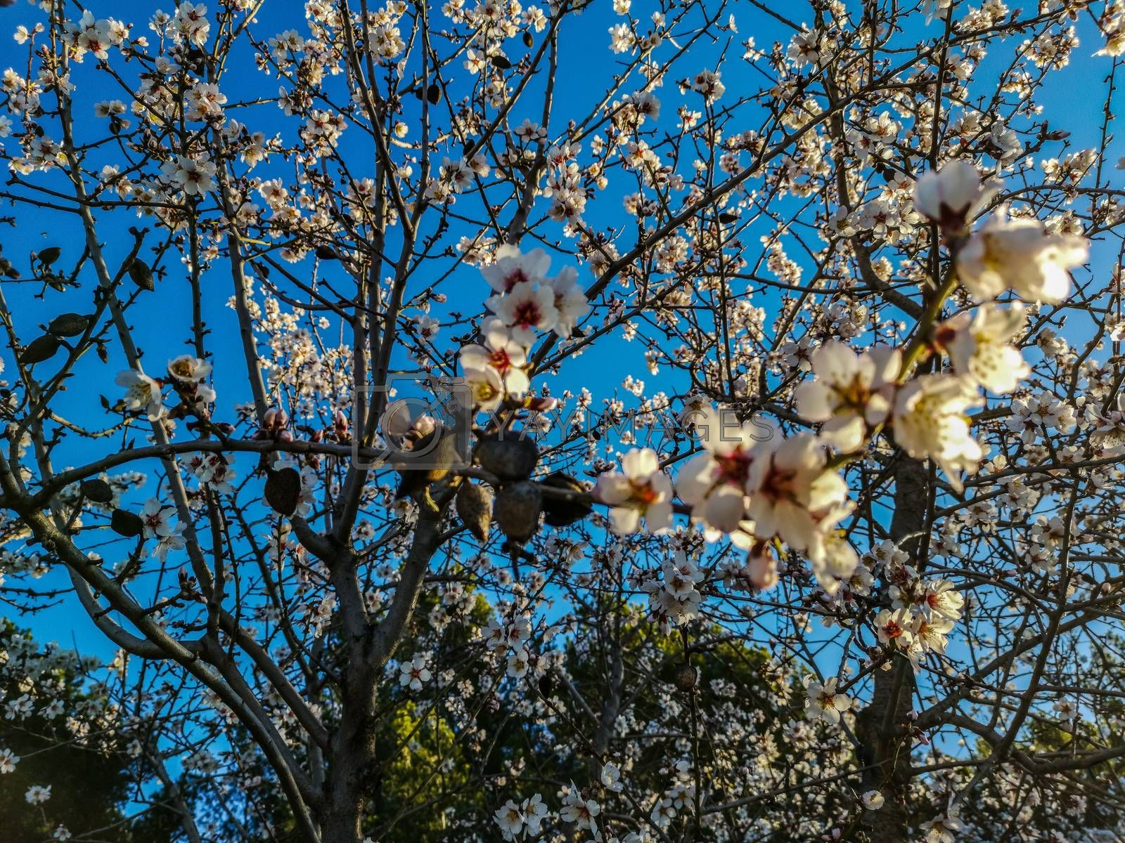 Almond tree in full bloom with the arrival of spring