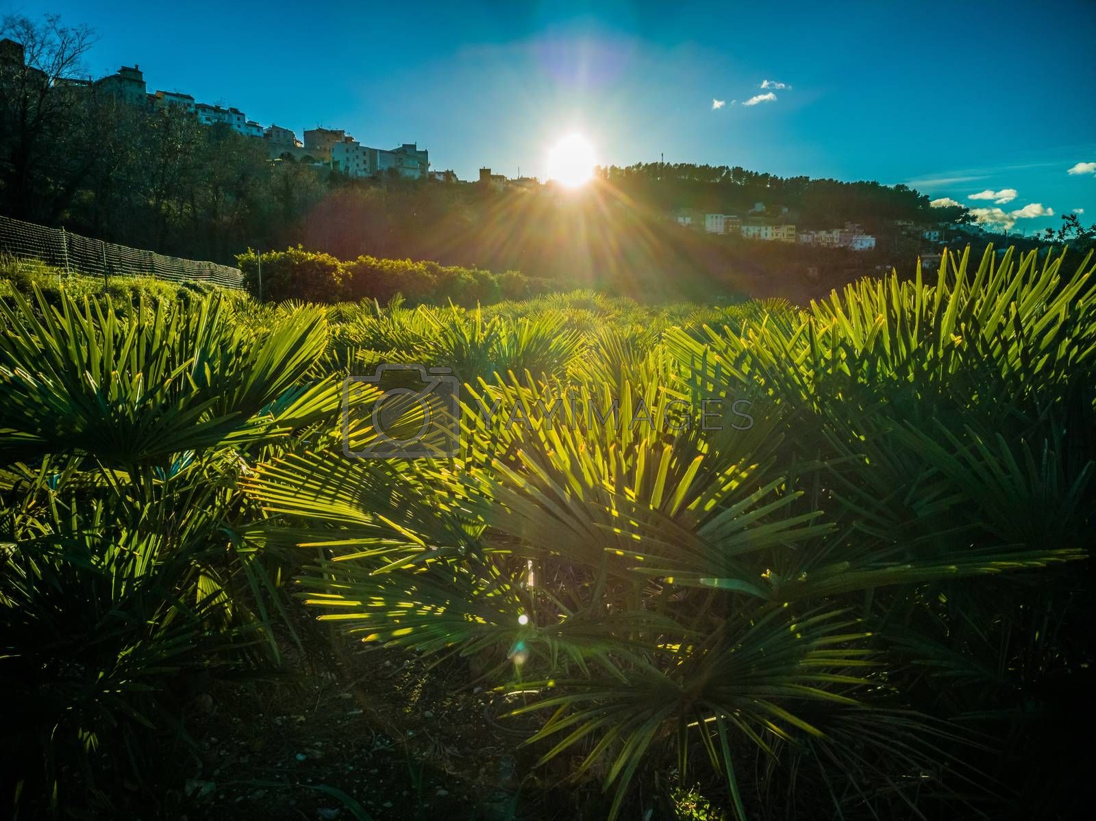 Sunset over a palm cultivation field in the village of Segorbe