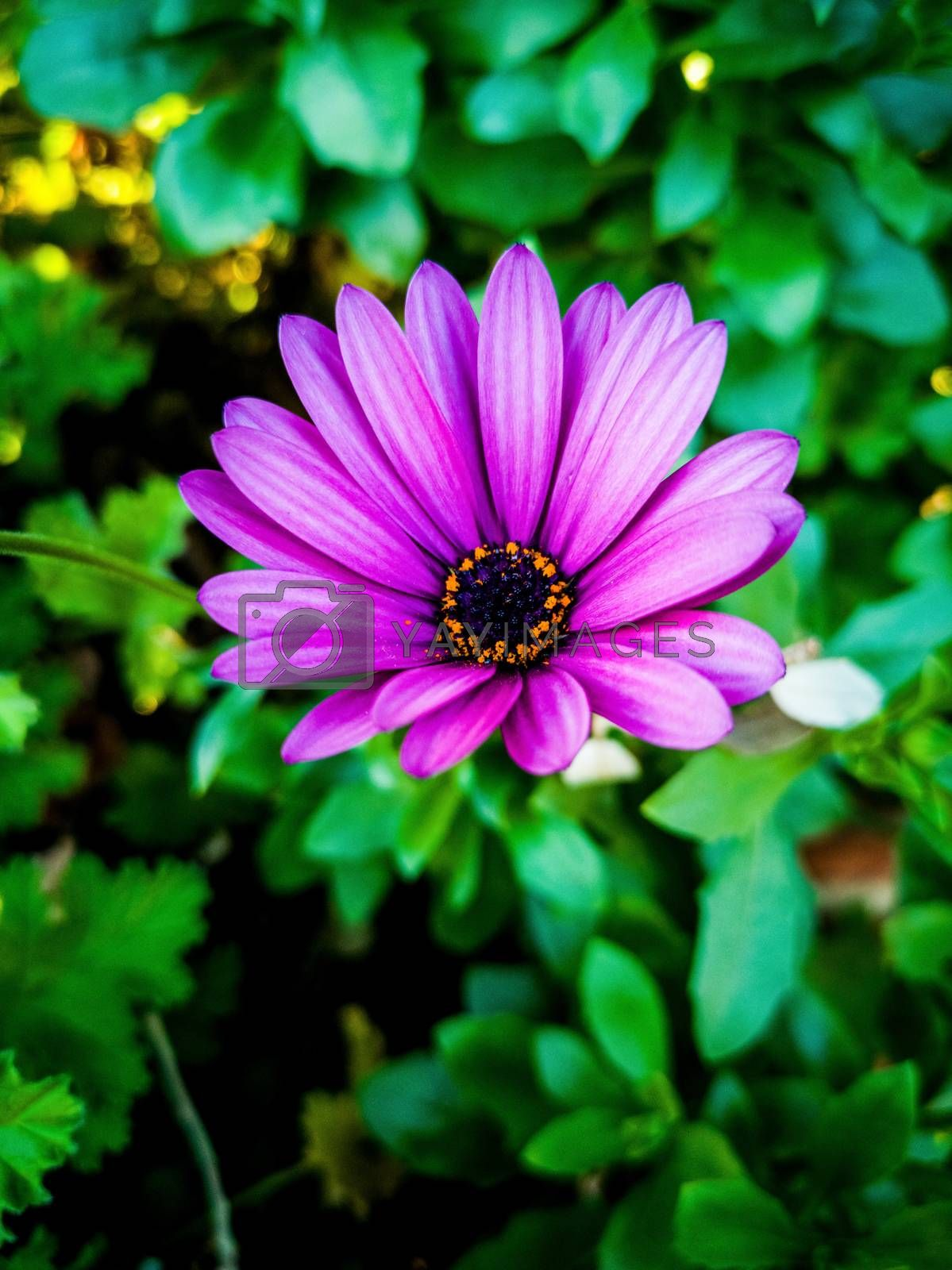 Purple daisy with purple and yellow center and green leaves background