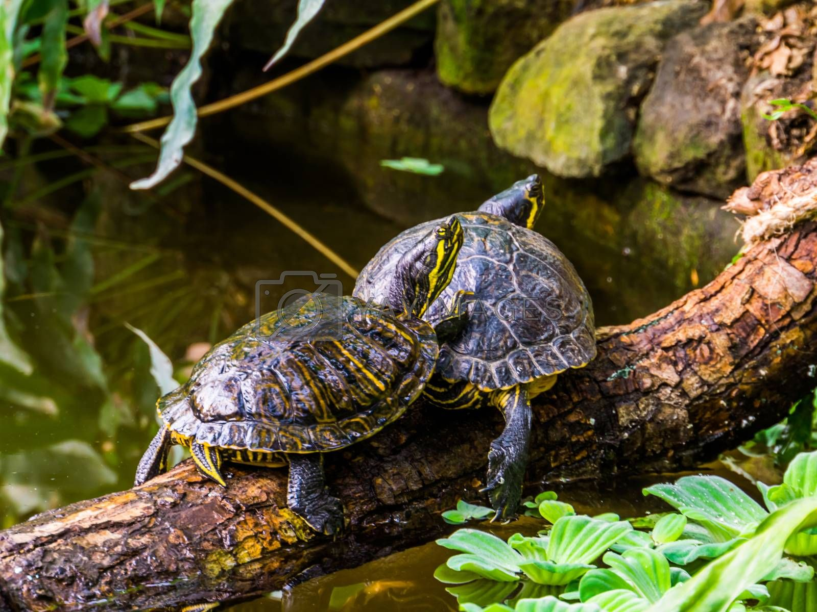yellow bellied slider turtle couple at the water, popular tropical pets from America