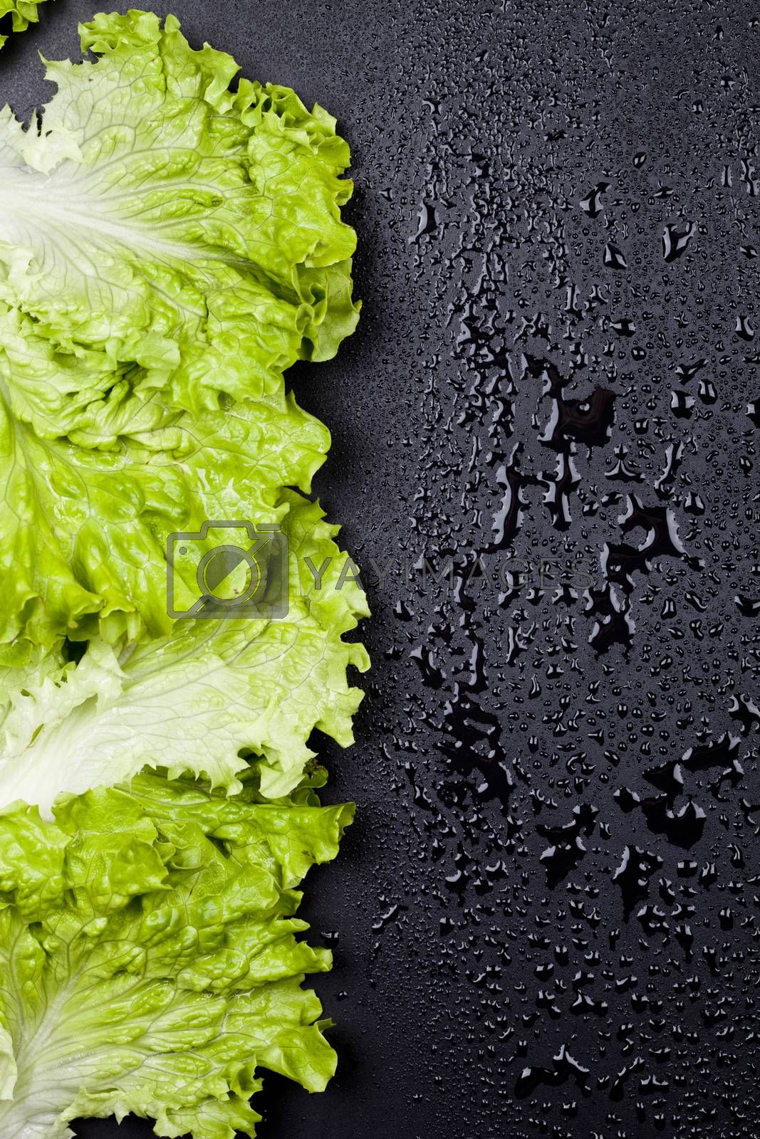 Green organic lettuce salad leaves frame on wet black background. Top view on black background vith copy space.